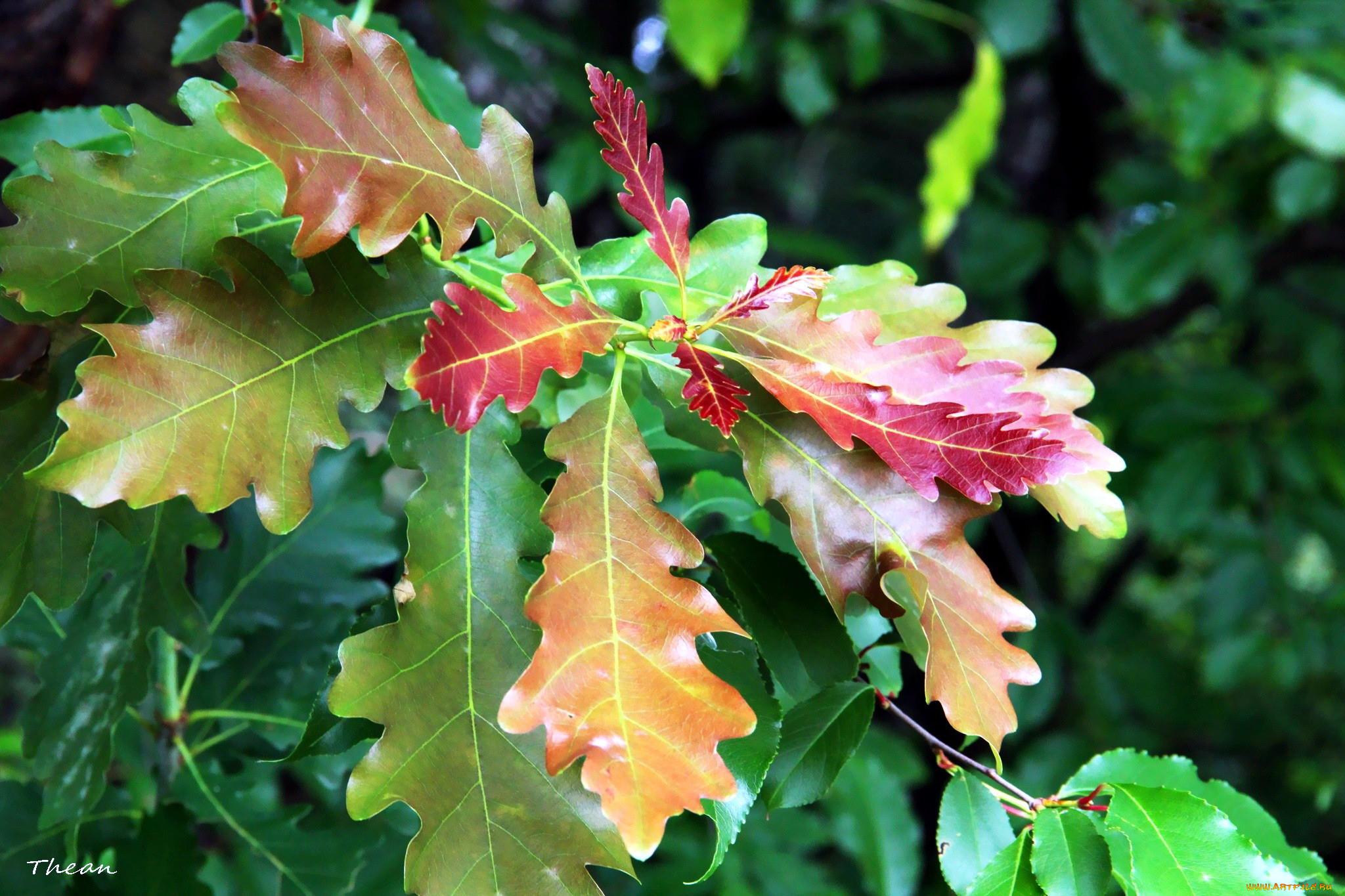 работы программе какого цвета листья дуба летом фото того